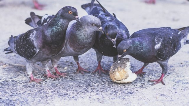 Humans & Pigeons - Living in Harmony image